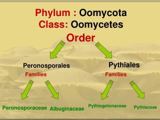 Phylum : Oomycota Class: Oomycetes