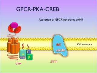 GPCR-PKA-CREB