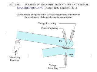 LECTURE 11:  SYNAPSES IV: TRANSMITTER SYNTHESIS AND RELEASE