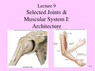 Selected Joints  Muscular System I: Architecture