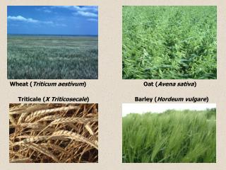 Wheat ( Triticum aestivum )