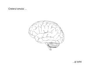 Creierul omului  ...