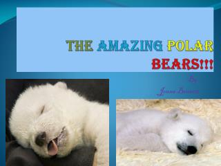 The  Amazing Polar  Bears!!!
