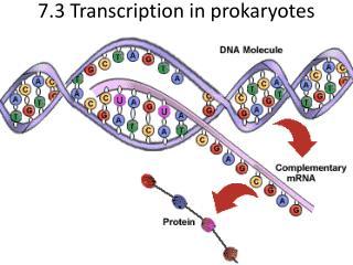 7.3 Transcription in prokaryotes