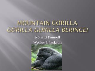 Mountain Gorilla Gorilla gorilla beringei