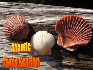 Atlantic Calico Scallop