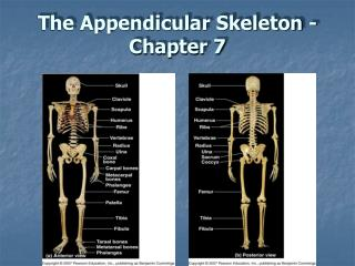 The Appendicular Skeleton - Chapter 7