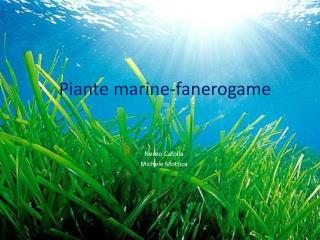 Piante  marine- fanerogame