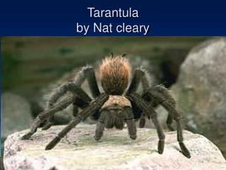 Tarantula by Nat cleary