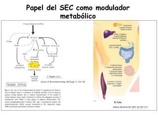 Papel del SEC como modulador metabólico