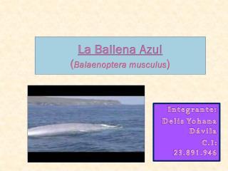 La Ballena Azul ( Balaenoptera musculus )