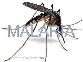 umaa/images/mosquito.jpg