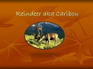 Reindeer aka Caribou