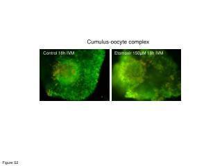 Cumulus-oocyte complex