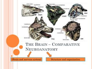 The Brain – Comparative  Neuroanatomy