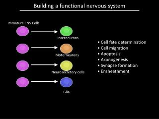 Building a functional nervous system