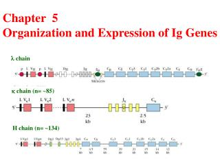 Chapter  5  Organization and Expression of Ig Genes