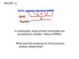 In eukaryotes, large primary transcripts are processed to smaller, mature mRNAs.