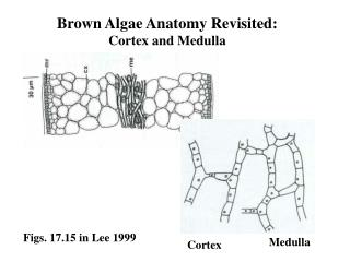 Brown Algae Anatomy Revisited: Cortex and Medulla