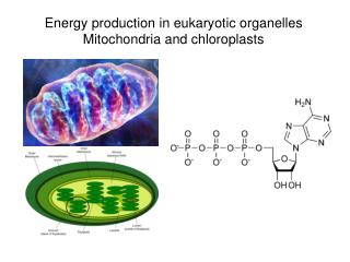 Energy production in eukaryotic organelles Mitochondria and chloroplasts