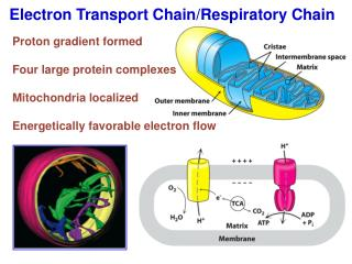 Electron Transport Chain/Respiratory Chain