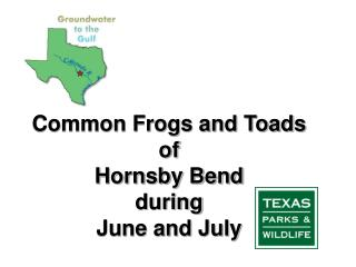Common Frogs and Toads of  Hornsby Bend during  June and July