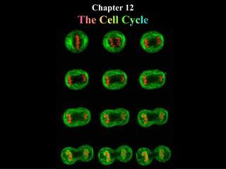 Chapter 12 T h e  C e l l  C y c l e