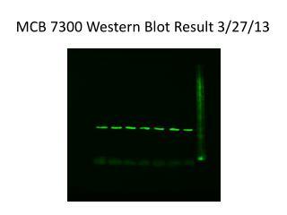 MCB 7300 Western Blot Result 3/27/13
