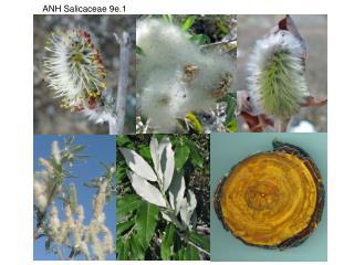 ANH Salicaceae 9e.1