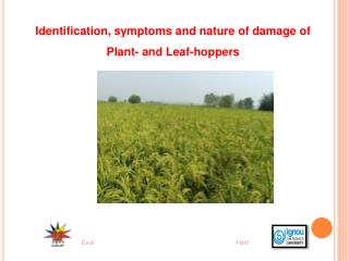 Identification, symptoms and nature of damage of Plant- and Leaf-hoppers