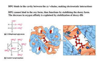 BPG binds in the cavity between the  -chains, making electrostatic interactions