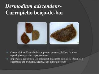 Desmodium adscendens-  Carrapicho beiço-de-boi