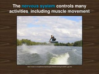 The  nervous system  controls many activities ,  including  muscle movement