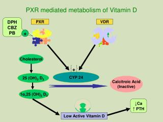 PXR mediated metabolism of Vitamin D