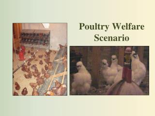 Poultry Welfare Scenario