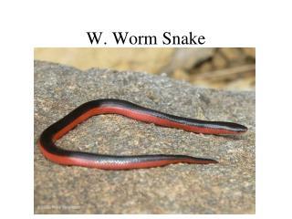 W. Worm Snake