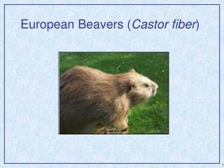 European Beavers ( Castor fiber )