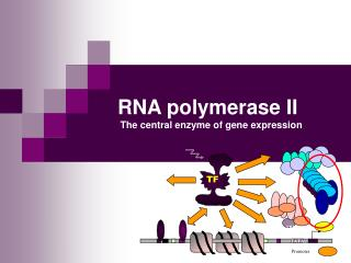 RNA polymerase II  The central enzyme of gene expression