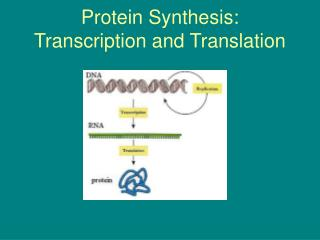 Protein Synthesis: Transcription and Translation