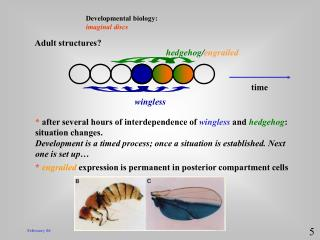 Developmental biology:  imaginal discs