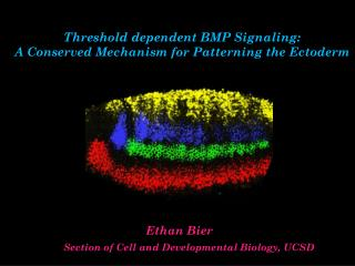 Threshold dependent BMP Signaling:  A Conserved Mechanism for Patterning the Ectoderm