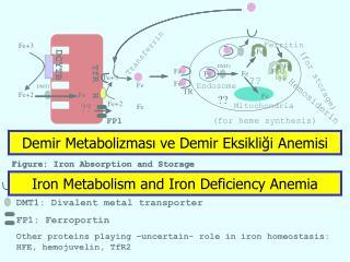 Demir Metabolizmasi ve Demir Eksikligi Anemisi
