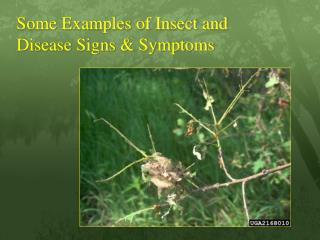 Some Examples of Insect and Disease Signs & Symptoms