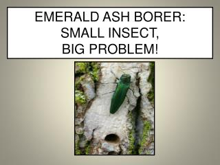 EMERALD ASH BORER:  SMALL INSECT,  BIG PROBLEM!