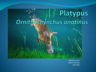 Platypus Ornithorhynchus anatinus