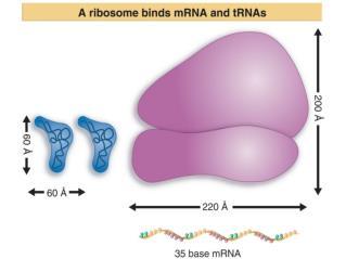 1. IF-1 은  70S  리보솜이 50S 와  30S 의 소단위체로 분리하는 과정에 관여 2. IF-3 는  30S  리보솜 소단위체와 결합하여