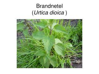 Brandnetel ( Urtica dioica  )