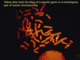Yellow dots mark the locus of a specific gene on a homologous  pair of human chromosomes