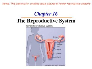 Chapter 16 The Reproductive System