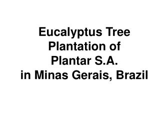 Eucalyptus Tree  Plantation of  Plantar S.A.  in Minas Gerais, Brazil
